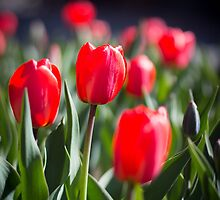 Red Tulips by Chelsey LeBlanc