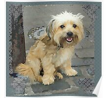 Louie the Shorkie-Tzu : Shih Tzu Yorkshire Terrier (Yorkie) Mix Poster