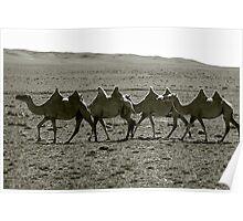 Camels trekking at sunset, Gobi Desert, Mongolia Poster