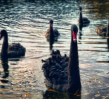 Black Swan and Cygnets by kiwiniknak