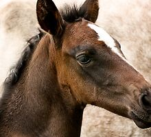 Andalusian Colt  by Cynthia Swinnen
