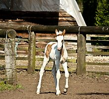 Painted filly by Cynthia Swinnen