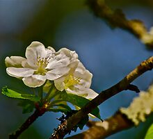 White Apple Blossoms 2 by Carolyn Clark