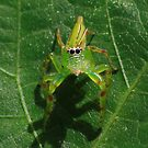 Tropical Jumping Spider  -Cairns  FNQ by john  Lenagan