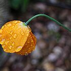 Poppy in the rain by Ray Clarke