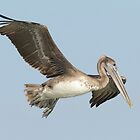 Brown Pelican by Todd Weeks