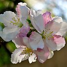 Apple Blossoms by goddarb