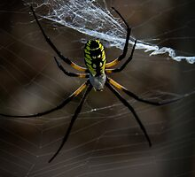 Yellow Garden Spider by Ken Reece