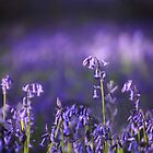 Bluebells in the Light by Photokes