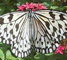Paper Kite White Butterfly by pjwuebker