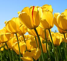 Tulips by AliLovesCats