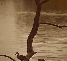 Ducks at Lake Weeroona by Lozzar Landscape