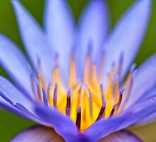 Beautiful Water lily  by 3523studio