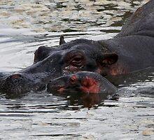 Mother and new born ( Hippopotamus amphibius ) Central Serengeti Tanzania by john  Lenagan