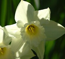 White Daffodil by michaelshelley