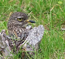 Spotted thick knee by Lee Jones