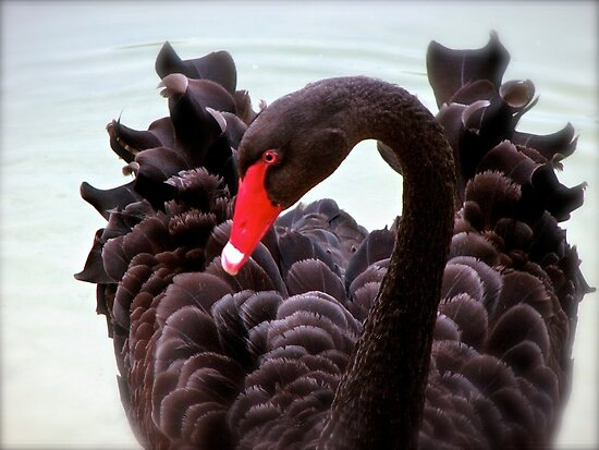 Black Swan by NatureGreeting Cards ©ccwri