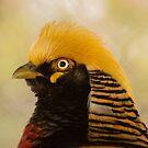 530 golden pheasant by pcfyi