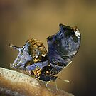 Gold leaf butterfly by jimmy hoffman