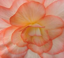 Begonia in Shades of Apricot - Throw Pillow & Tote Bag by Marilyn Harris