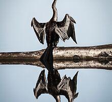 Australasian Darter by Normf