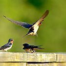 Barn Swallows by imagetj