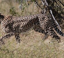 Cheetah on the Hunt by Marylou Badeaux