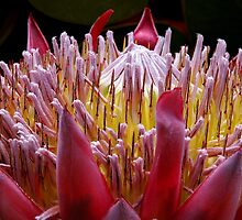 Protea Royal - Western Australia  by Paul Gilbert