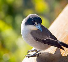 Butcher Bird at Binna Burra by John Catsoulis