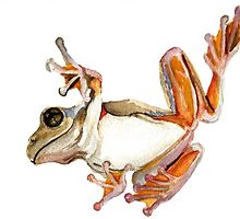 Peron's Tree Frog by Denise Faulkner