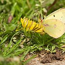 Pink-edged Sulphur by Thomas Young