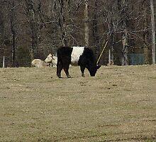Oreo Cow by WildestArt