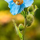 Himalayan Blue Poppy by M.S. Photography & Art