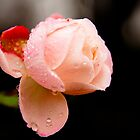 Water Droplets on a Pink Rose by W. Lotus