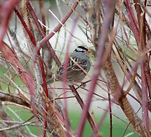 white crowned sparrow in bare bush by snowyo