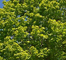 Maple Tree leaves by Carolyn Clark