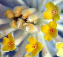 Edgeworthia chrysantha by Scott Mitchell