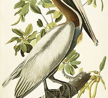 Brown Pelican, Male Adult by Bridgeman Art Library