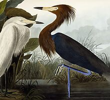 Purple Heron by Bridgeman Art Library