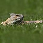 Iguana Lizard on Green Grass by Pixie Copley LRPS