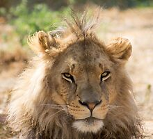 62 lion by pcfyi