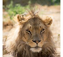 62 lion Photographic Print