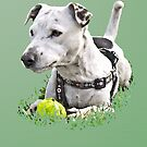 Jack : Jack Russel Terrier x Staffy by Jay Taylor