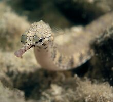 Pipe Fish by James Deverich