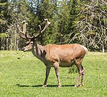 Wapiti in a green field by Josef Pittner