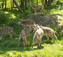 A pack of howling coyotes by Josef Pittner