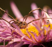 Opilio on top of a aster flower by stresskiller
