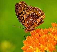 Butterfly by dc42291