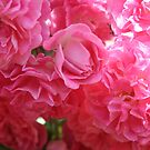 Pink Climbing Roses by taiche