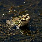 Frog by Jens Helmstedt